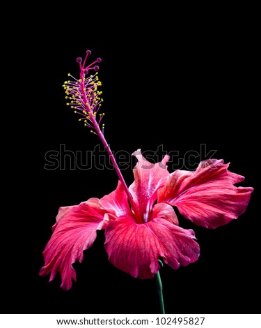 Beautiful Scarlet Red Hibiscus Flower isolated on black