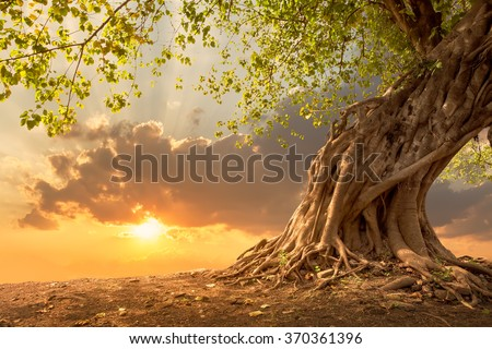 Beautiful scence of big tree with leaves at sunset sky with clouds. Fantasy landscape with free copy space. Using for background of website banner, amazing postcard. Travel concept background.