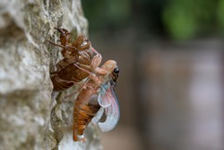 Beautiful scene macro insect molting cicada on tree in nature.