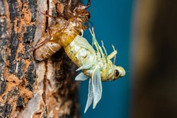 Beautiful scene macro insect molting cicada on tree in nature. Cicada insect stick on tree. Cicada metamorphosis grow up to adult insect
