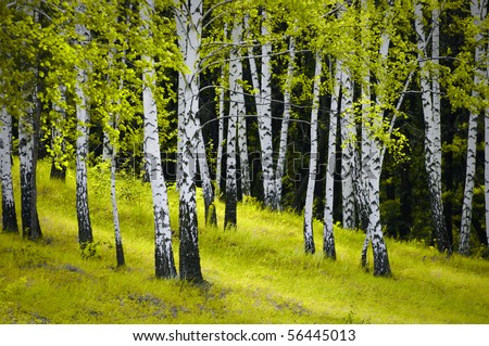 beautiful scene of birch grove