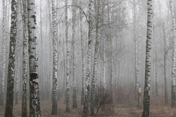 beautiful scene with birches in autumn birch forest in october among other birches in birch grove in fog