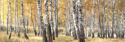 beautiful scene with birches in yellow autumn birch forest in october among other birches in birch grove