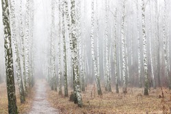 beautiful scene with birches in yellow autumn birch forest in october among other birches in birch grove in fog