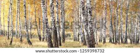 beautiful scene with birches in yellow autumn birch forest in october among other birches in birch grove Photo stock ©