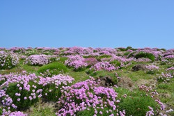 Beautiful scenery of Armeria maritima, the thrift, sea thrift or sea pink flowers in May, at Skomer Island , Wales, United Kingdom. Space for copy.