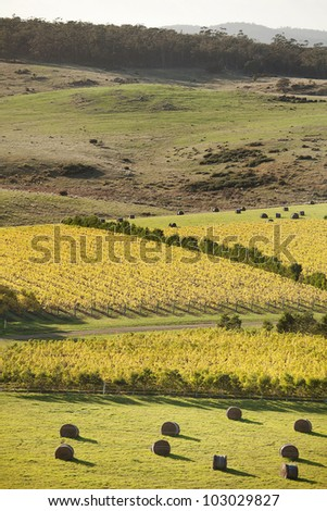 Beautiful scenic of vineyards in Autumn, Oyster Bay, Tasmania, Australia