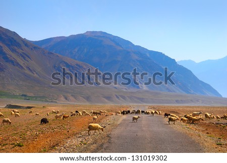 Beautiful scenic view of colorful mountain and herd of sheep crossing the road against the background of clear blue sky in Zanskar valley, Ladakh range, Jammu & Kashmir, Northern India, Central Asia