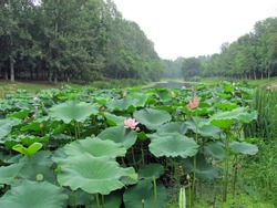 Beautiful scenic view of lotus pond with blooming pink lotus flower, buds, green lotus leaves and seedpods growing with aquatic plants, in a forest park with many big trees in summer in Beijing, China