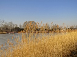 Beautiful scenic view of yellow reeds clusters growing on lakeside, with wooden bridge over icy lake and leafless trees on the other lakeside under clear blue sky in winter in Beijing, China