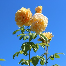 Beautiful  scented romantic  yellow hybrid tea  rose in bloom in early autumn.