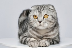 Beautiful scottish fold silver tabby portrait