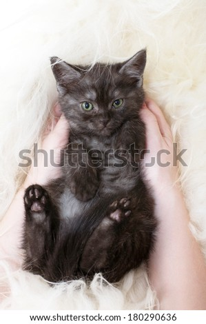 Beautiful Scottish kitten in hands #180290636