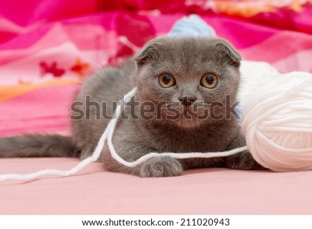 Beautiful Scottish young cat with balls of wool