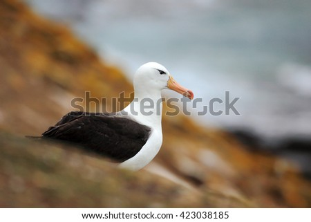 Beautiful sea bird Black-browed albratross. Albatross sitting on the cliff. Albatross with dark blue water in the background. Albatross from Falkland Island. Sea bird albatross in the nature habitat.  #423038185
