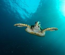 beautiful sea turtle swimming in the ocean