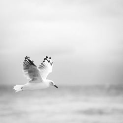 Beautiful seagull bird in flight over the ocean in black and white