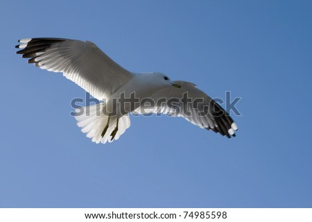 Beautiful seagull in flight against the blue sky