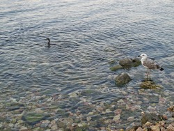 Beautiful seagull with gray-white feathers, cormorant bird with black plumage, waterfowl living in the Black Sea.