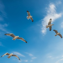 Beautiful Seagulls flying in the sky