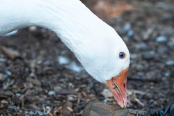 Beautiful Sebastopol goose leans forward with its orange beak to peck at a shoe while being calm and affectionate on a sunny day on the farm