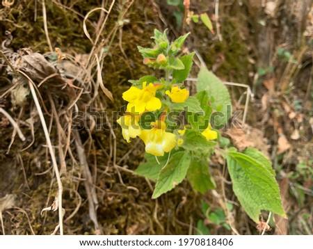 Beautiful  seep monkeyflowers flowers - Blooming Yellow flowers. Stok fotoğraf ©