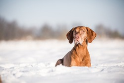 Beautiful senior dog breed Magyar viszla laying in the snow on a sunny day