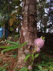 Beautiful sensitive plant with pink flower , Mimosa Pudica (Thottavadi)