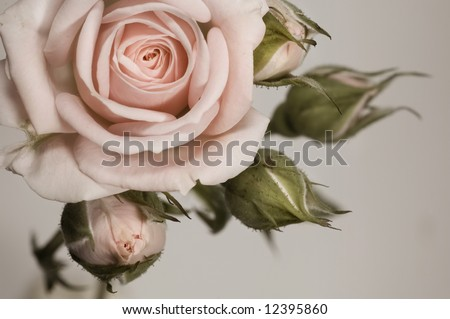 Beautiful sepia rose with buds