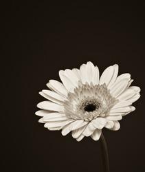 Beautiful sepia toned Gerbera daisy flower.