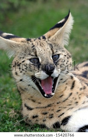 Beautiful serval wild cat with mouth open showing pink tongue and teeth - stock photo