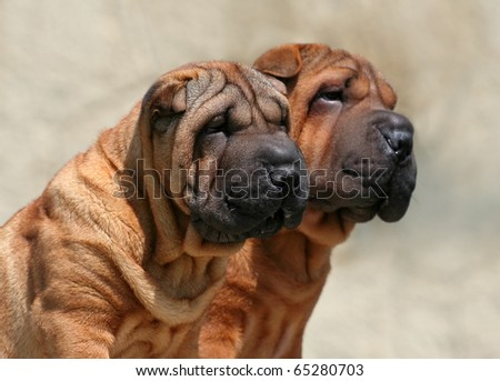 download shar pei puppies - photo #14