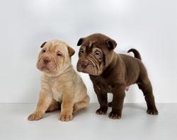 Beautiful Shar Pei puppies on white background