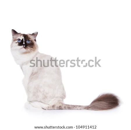 Beautiful Shaved Tortie Ragdoll Cat on a White Background