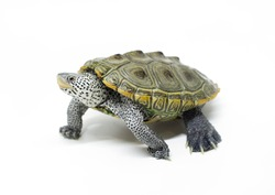 beautiful shell of Diamondback terrapin turtle