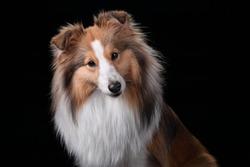 Beautiful Sheltie dog portrait