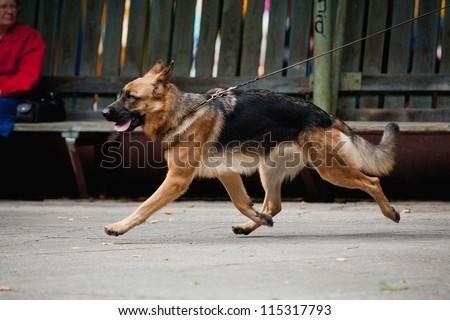 beautiful Shepherd runs trot on a leash - stock photo