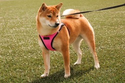 Beautiful Shiba Inu dog in a pink harness, standing on bright green grass