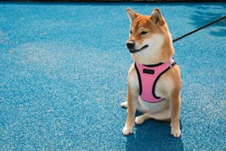 Beautiful Shiba Inu dog sitting in a pink harness on a leash, with bright blue background