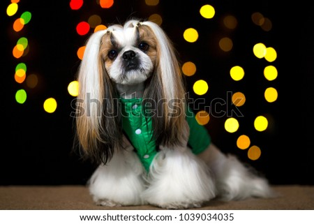 Beautiful shih-tzu dog in the green jacket and bokeh. Best fashion style of the professional groomer care.