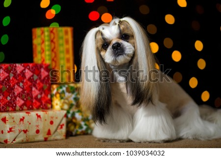 Beautiful shih-tzu dog with Christmas presents and bokeh. Best present in the Year of the dog. Best fashion style of the professional groomer care.