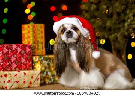 Beautiful shih-tzu dog with Christmas presents and bokeh in the Santas hood. Best present in the Year of the dog. Best fashion style of the professional groomer care.