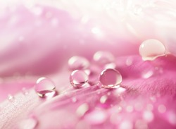Beautiful shiny water droplets on flower petal peony macro. Drops of dew on a pink petal. Gentle soft elegant airy artistic image with soft focus