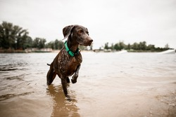 beautiful shorthaired pointer dog with bright collar stands in the water against the background of the coastline.