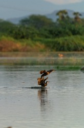 beautiful shot crane bird flying standing in water lake pond green grass bright sunny day background wallpaper india tamilnadu madurai