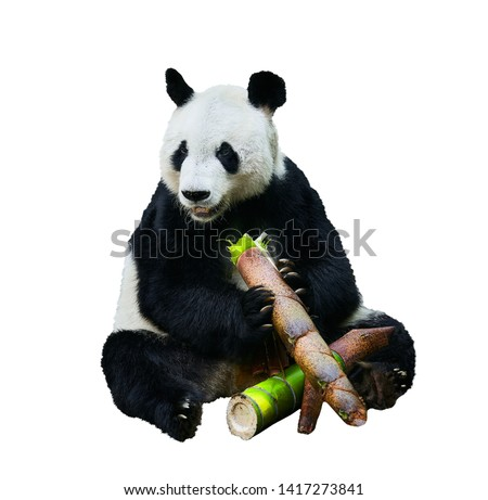 Beautiful shot of a Giant panda (Ailuropoda melanoleuca) or Panda Bear. Sitting bear eating a large piece of bamboo. Endangered animal on white background. #1417273841
