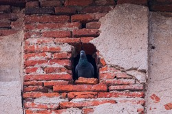 Beautiful shot of a gray pigeon(doves) sitting in its nest in a hole in the old red brick wall background