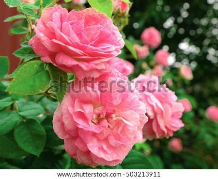 beautiful shrub roses growing outdoor photos photo-stock #503213911