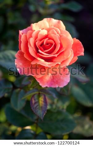 beautiful shrub roses in the garden
