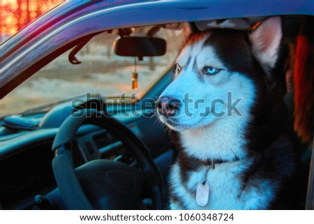 Beautiful Siberian husky sitting in car and looks at street. Noble dog with blue eyes sitting in driver's seat of the car. Dog's muzzle in evening sunlight. Copy space.